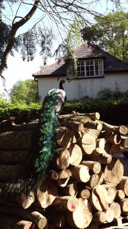 Peacock at Bickleigh Mill